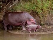 Hipopótamo-comum5