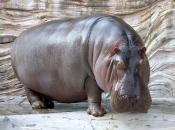 Hipopótamo-comum6