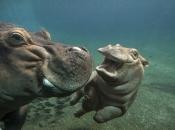Hipopótamo-comum7