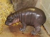 hipopotamo-pigmeu-110