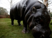 Thug, a 17-year-old pygmy hippo, moves around in a new enclosure equipped with solar panels at London Zoo in London on April 3, 2014.   Often mistaken for its larger cousin, the pygmy hippo is much smaller than the common hippopotamus, they have a smaller head and eyes with ears to the side of the head. Classed as endangered, pygmy hippos are under constant threat from poaching and habitat-loss in the wild. AFP PHOTO ADRIAN DENNIS