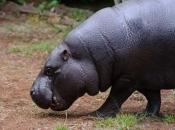 Hipopótamo-pigmeu2