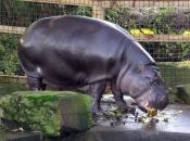Hipopótamo-pigmeu3