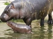 Hipopótamo-pigmeu4