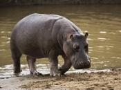 Hipopótamo-pigmeu7
