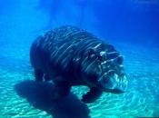 hipopotamos-selvagens-10
