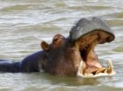 hipopotamos-selvagens-2