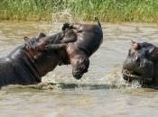 hipopotamos-selvagens-3