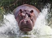 hipopotamos-selvagens-5