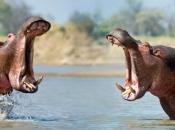 hipopotamos-selvagens-7