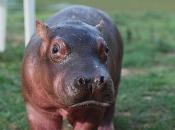 hipopotamos-selvagens-8