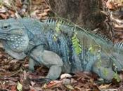 Iguana-azul1