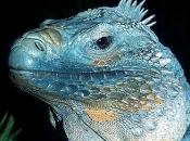 Iguana-azul2