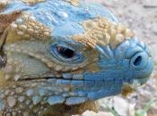 Iguana-azul3