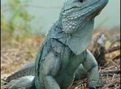 Iguana-azul5