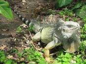 Iguana Verde 3