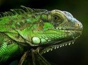 Iguana Verde 4