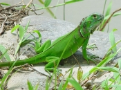 Iguana Verde 5
