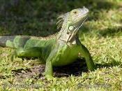 Iguana Verde 7