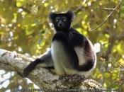 Indri1