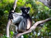 Indri3
