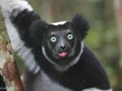Indri6