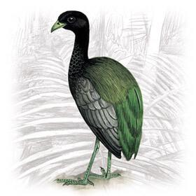 Jacamim-das-costas-verdes1