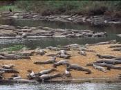 Jacaré do Pantanal 2