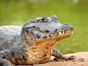 Jacare do pantanal / Yacare Caiman