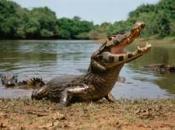 Jacaré do Pantanal 6