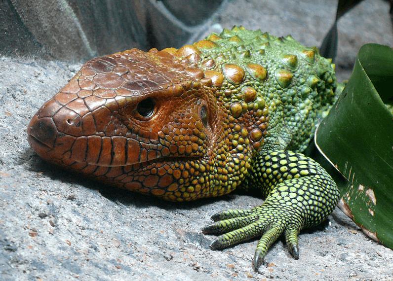 Jacuruxi1