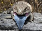 Lagarto de língua azul 4
