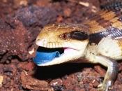 Lagarto de língua azul 6