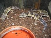 Leopard Gecko 3