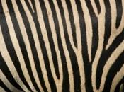 listras-da-zebra-3