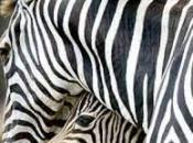 listras-da-zebra-4