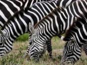 listras-da-zebra-5