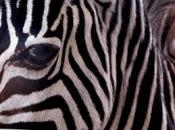 listras-da-zebra-6