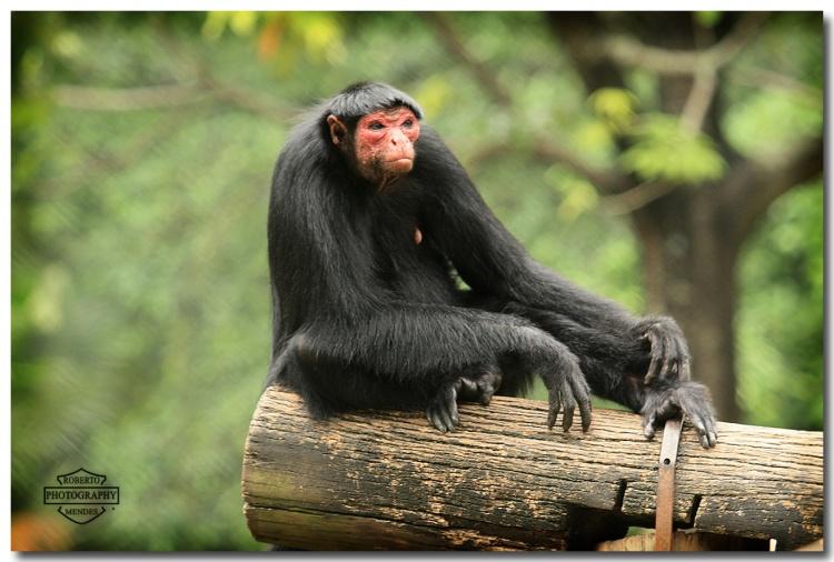 Macaco-Aranha-Preto 3