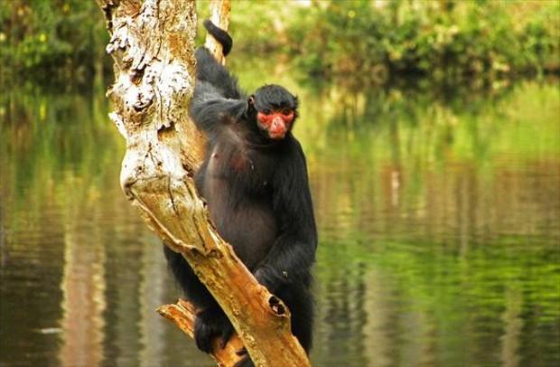 Macaco-Aranha-Preto 4