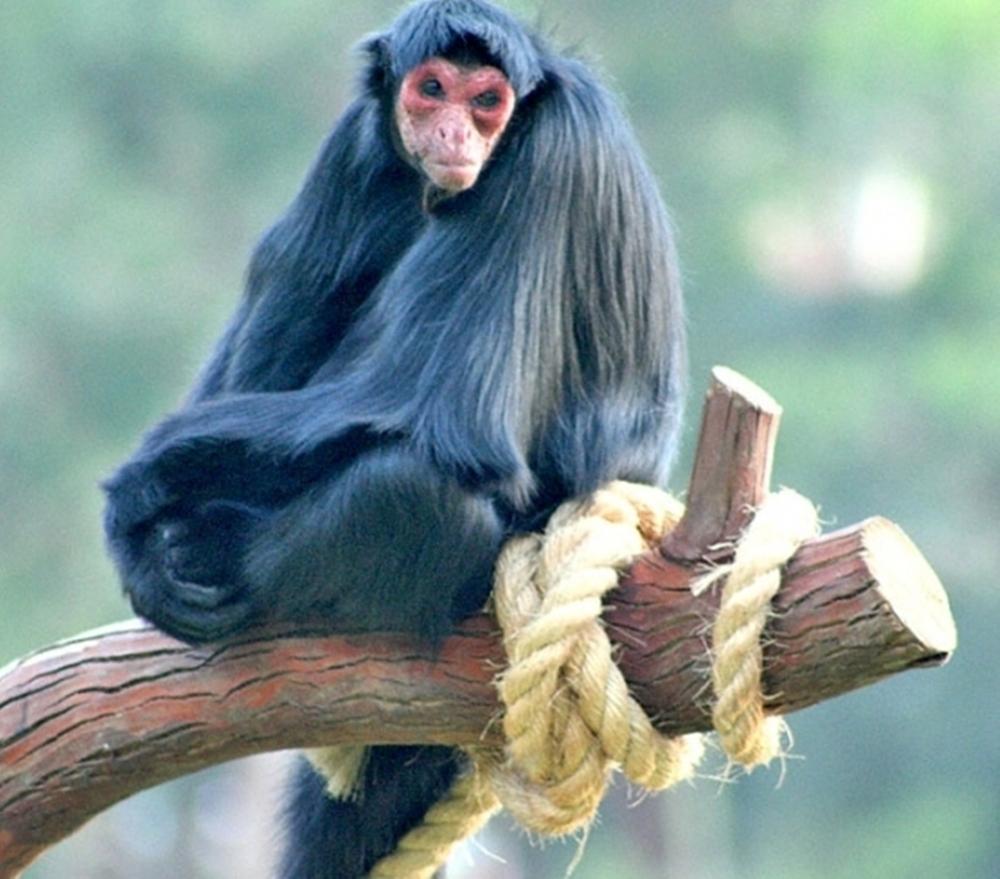 Macaco-Aranha-Preto 5