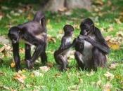 Macaco-Aranha-Preto 1