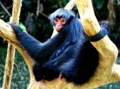 Macaco-Aranha-Preto 2
