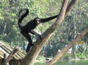 Macaco-Aranha-Preto 6