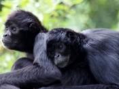 Fotos de Macaco-aranha 1