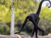 Fotos de Macaco-aranha 10