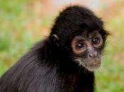 Fotos de Macaco-aranha 11