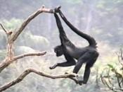 Fotos de Macaco-aranha 12