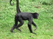 Fotos de Macaco-aranha 2