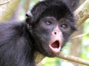 Fotos de Macaco-aranha 4